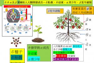 δθα及β菓樹如人大腦開發成長—δ胎教、θ幼童、α青少年、β多元收入壯年銀髮