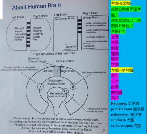 左腦由Beta4擋深呼吸禪坐成音波激活間腦使左右腦3檔Alpha波才能共振右腦入舊皮質Theta坡二檔再進入腦幹Delta波一檔