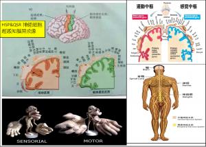 HSP&QSR神經細胞超感知腦屏成像
