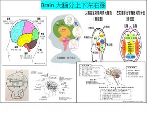 brain大腦的上下左右腦機能