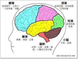 brain大腦4葉機能發展